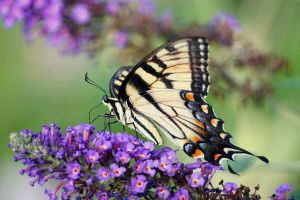 the swallowtail by ariseandrejoice