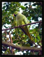 African Ring-necked Parakeet - 5 by J-Y-M