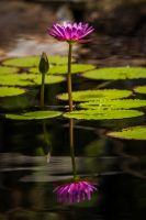 Lotus Reflection by DGPhotographyjax