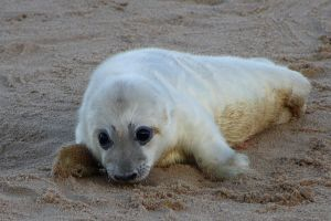 SEAL PUP by BlonderMoment
