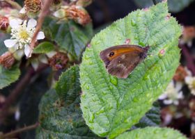 Gatekeeper or Hedge Brown (Pyronia tithonus) by Steve-FraserUK