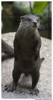 Standing Otter by TVD-Photography