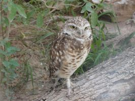 LD August 14: Burrowing Owl 1 by FamilyCanidae