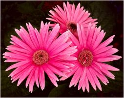 THREE GERBERAS by THOM-B-FOTO