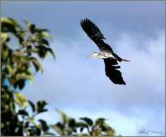 Black Stork by ShlomitMessica