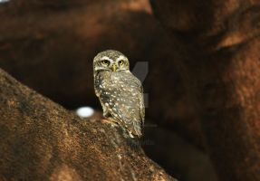 Spotted owlet by anvitaparry