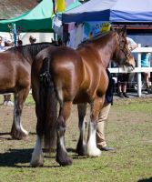 STOCK - Canungra Show 2012 172 by fillyrox