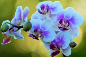 Purple and White in Sunset 016 by Philatx
