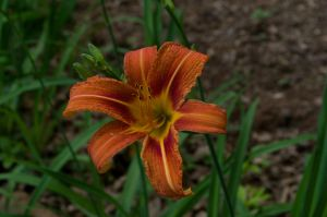 2015-05-20 Lily 01 by skydancer-stock