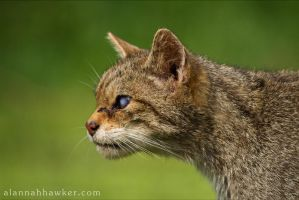 Wildcat 03 by Alannah-Hawker
