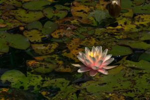 Water Lily by pubculture