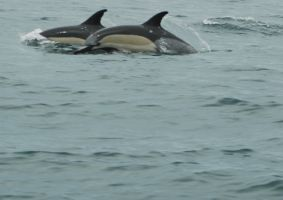 Common Dolphins pt. 3 by AkiFox