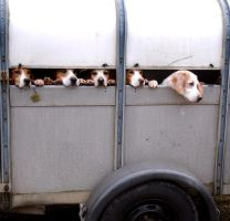 Beagles by Photogenic5