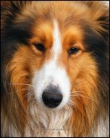 Collie Portrait by Vihartancos