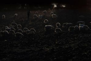 Sunset with Sheeps by Mcnicky
