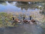 Geese in a Pond by MrsTurbo-Elf
