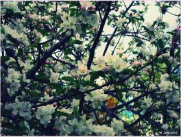 More Apple Blossoms by JDM4CHRIST