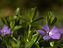 Periwinkle Pleasures by SharingMyDreams