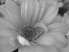 Black And White Daisy by Imtolazytothinkofone