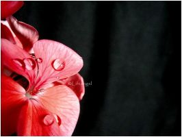 Pelargonium tears by liftangel