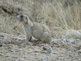 Prarie Dog by michaelgoldthriteart