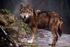 Wet Wolf by brijome