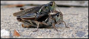 Humpicating Hoppers by lepizzagirl