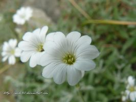 white flower by andi40