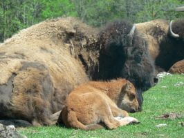 Buffalo and baby by allykat