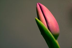 Tulips by MalinQuist