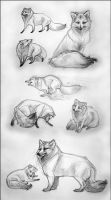 Arctic Fox Study (uncolored version) by newfka