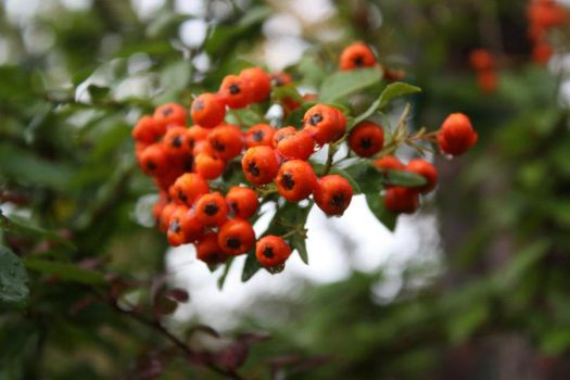 Water Berries by dalmation1080