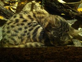 black footed cat by fo-shizzles
