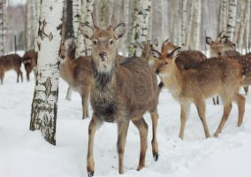 Deers by TinaGrey