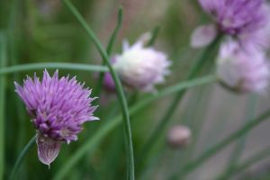 Chives 002 by poeticthnkr