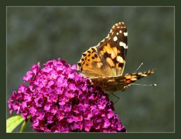 Painted Lady by Tragopogon
