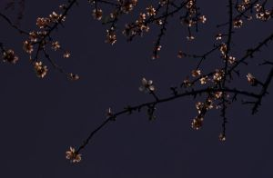 Blossoms by moonlight by Mikewen