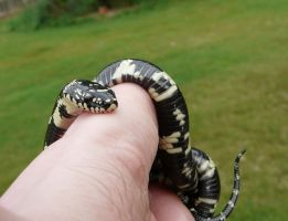 Calm King Snake by duggiehoo