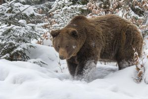 Brown Bear by AngelaLouwe