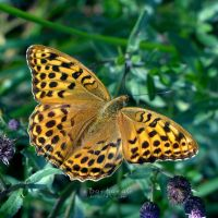 Queen of Spain Fritillary by xBarbaraG
