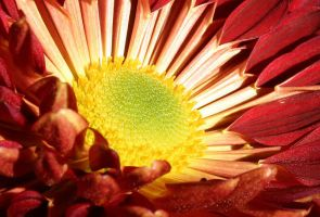 chrysanthemum by philichino