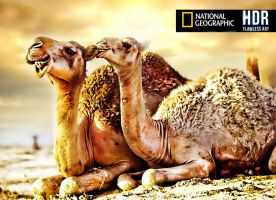 Camels HDR by M-AlJabarty