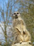 Classic Meerkat Pose by jessieo-photography