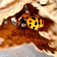 Coccinelle en Automne I by hyneige