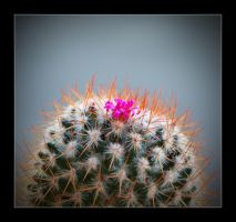 Cactus Fleuri by GregColl
