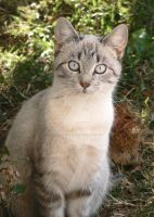 Gray and White Cat by LaurelPhotoandCraft
