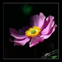 Anemone by albatros1
