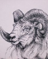 Dall Sheep by Cailey5586