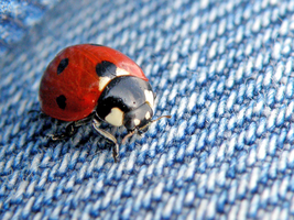 Ladybug on my jeans by Bhesi