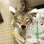 Carl the coyote WIP soft mount by TwilyGirl